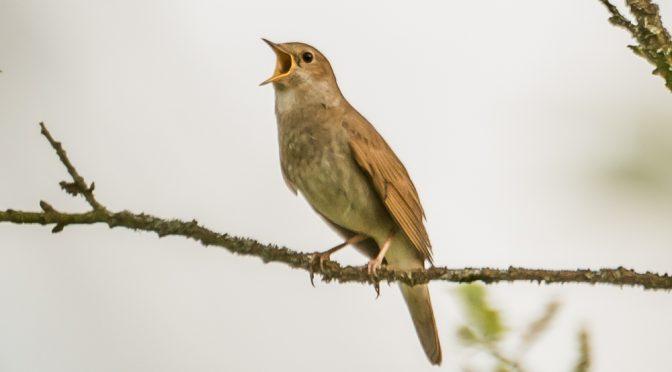 Sangfugletur til Ramsødalen