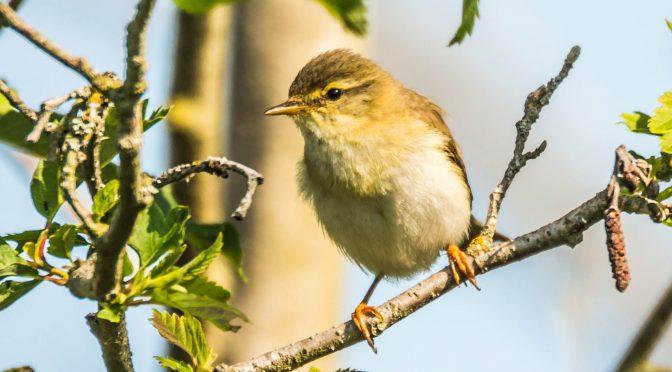 Forårets fugle i Valborup Skov. (3)